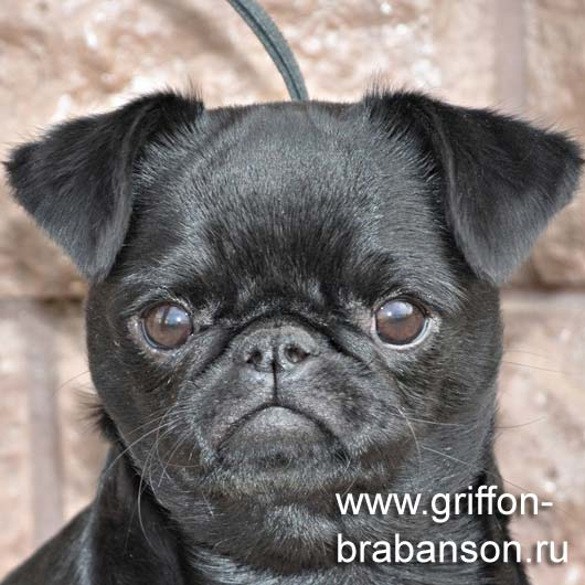 griffon petit brabancon puppy
