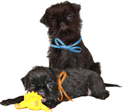 The puppies of breed Griffon Belge is on sale